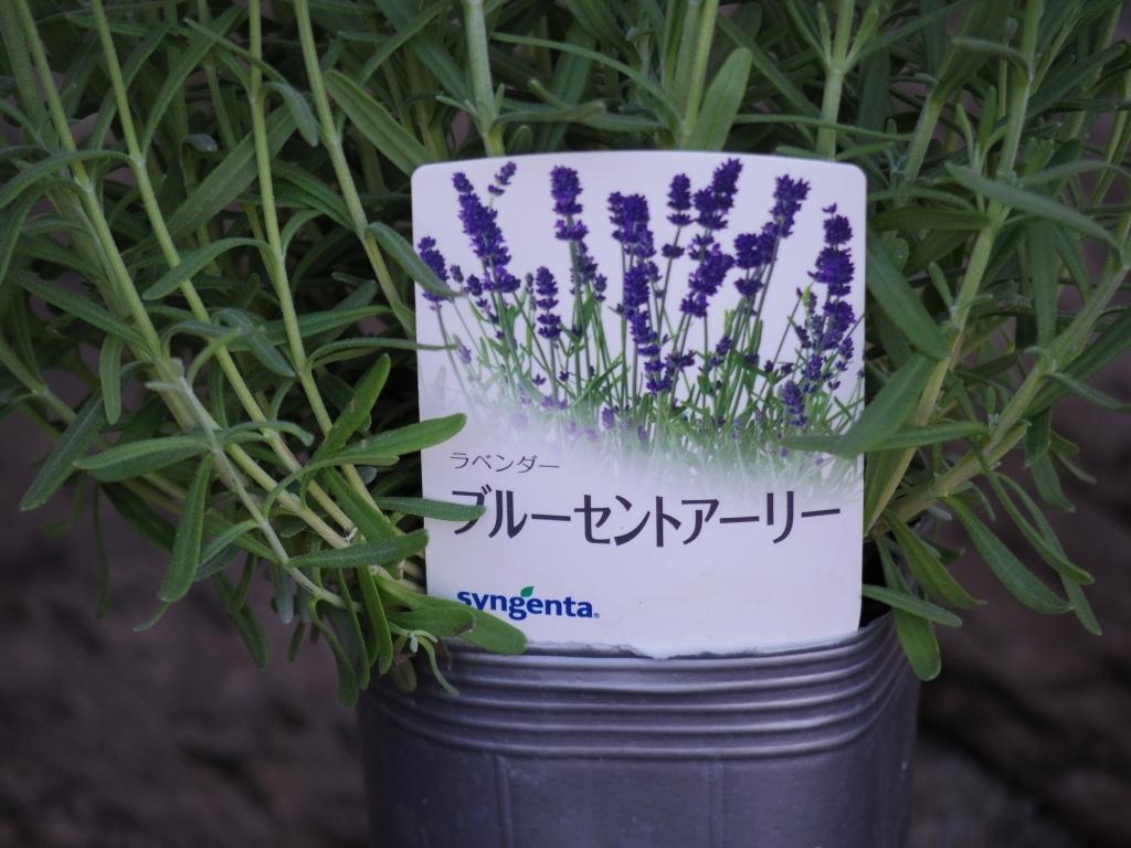 【ラベンダー・ブルーセントアーリー*Lavandula angustifolia*イングリッシュラベンダー】*ボリュームあります*同梱可   _画像6