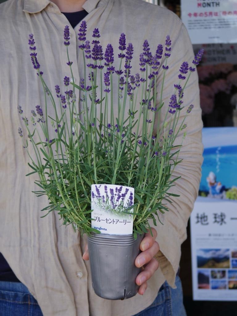 【ラベンダー・ブルーセントアーリー*Lavandula angustifolia*イングリッシュラベンダー】*ボリュームあります*同梱可   _画像1