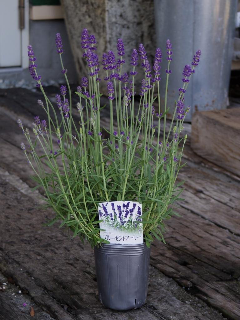 【ラベンダー・ブルーセントアーリー*Lavandula angustifolia*イングリッシュラベンダー】*ボリュームあります*同梱可   _画像5