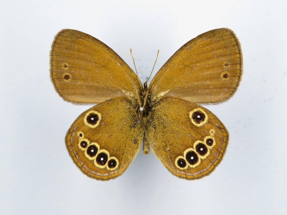 国産蝶標本 ヒメヒカゲ A♂ 兵庫県加古川市 産_画像1