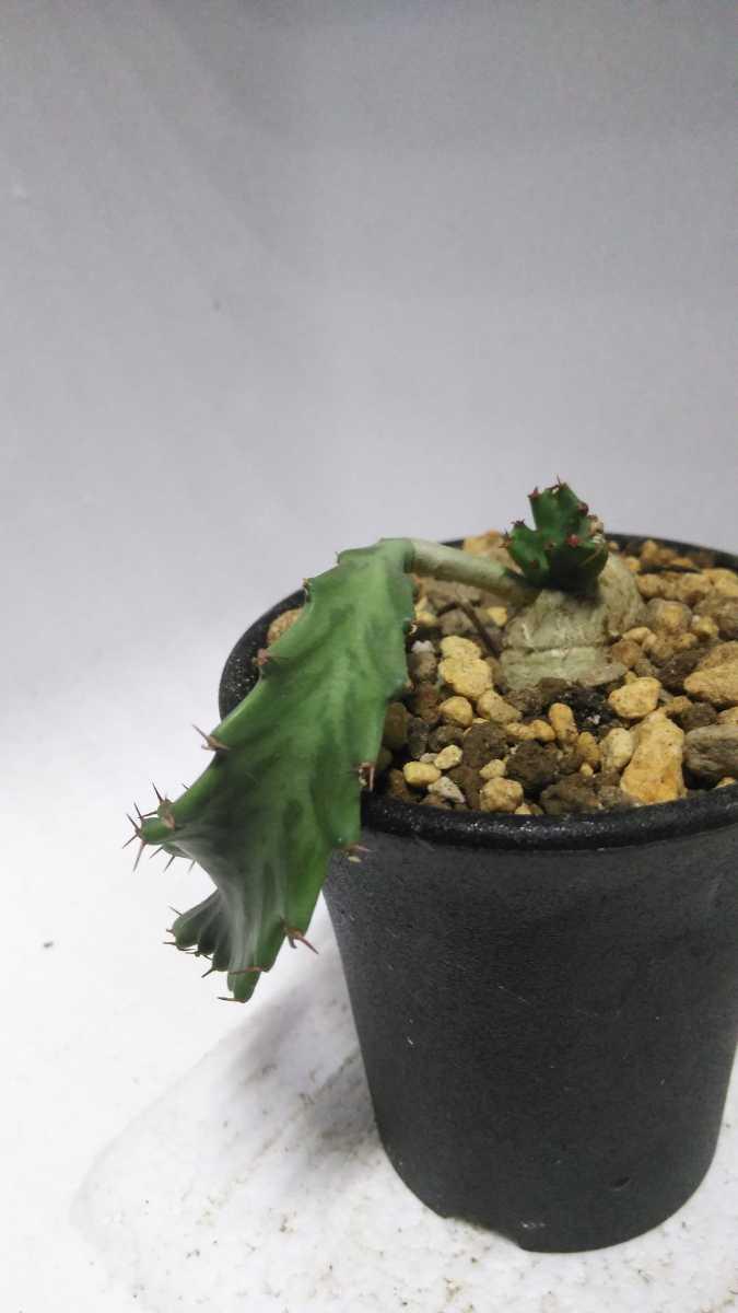 ユーフォルビア Euphorbia stellata(飛竜)南アフリカ原産 実生 輸入株 送料無料! サボテン レア多肉植物 塊根植物 コーデックス_画像10