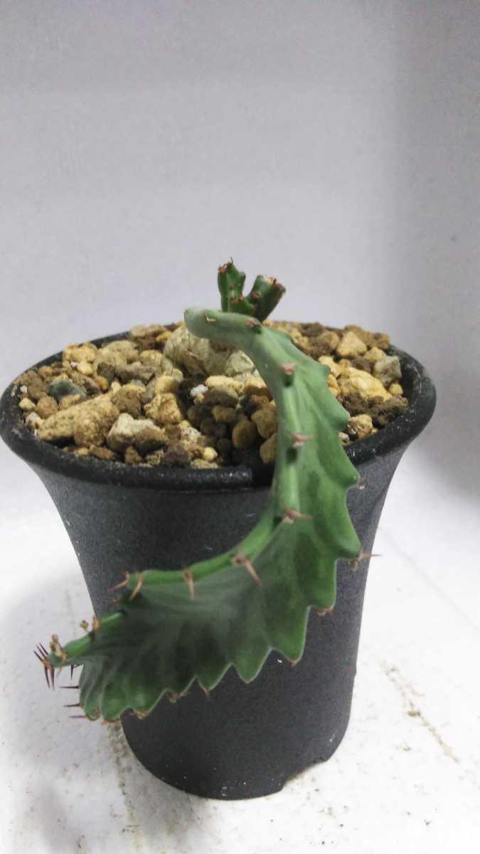 ユーフォルビア Euphorbia stellata(飛竜)南アフリカ原産 実生 輸入株 送料無料! サボテン レア多肉植物 塊根植物 コーデックス_画像8