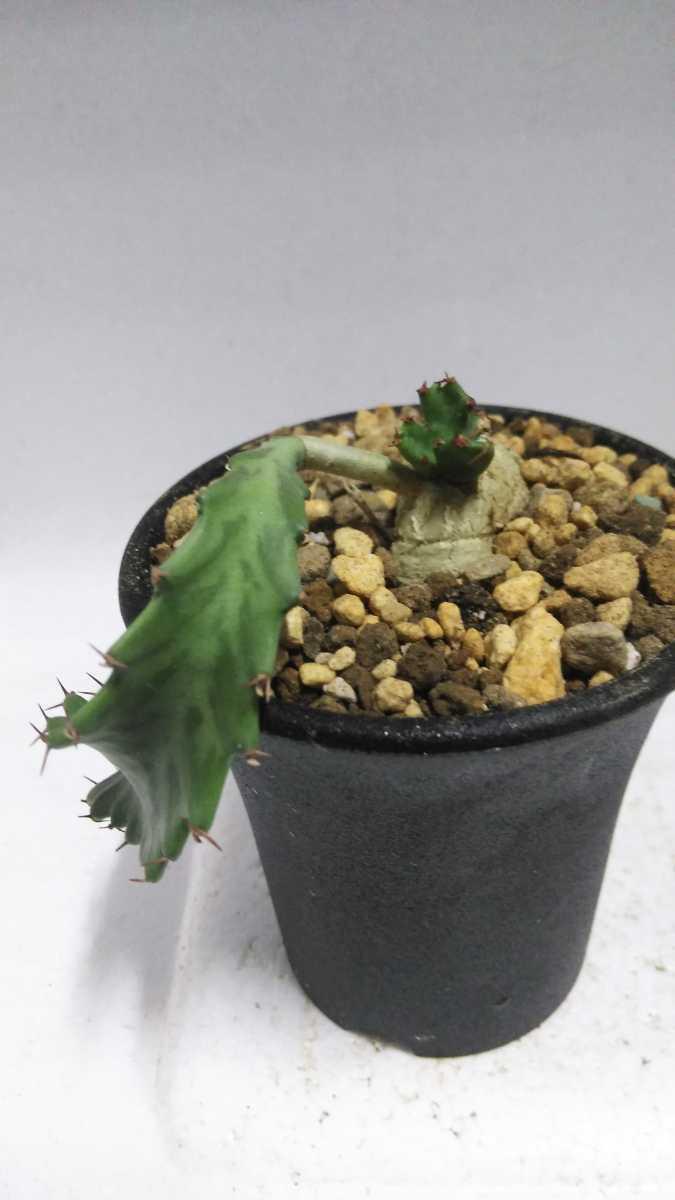 ユーフォルビア Euphorbia stellata(飛竜)南アフリカ原産 実生 輸入株 送料無料! サボテン レア多肉植物 塊根植物 コーデックス_画像1