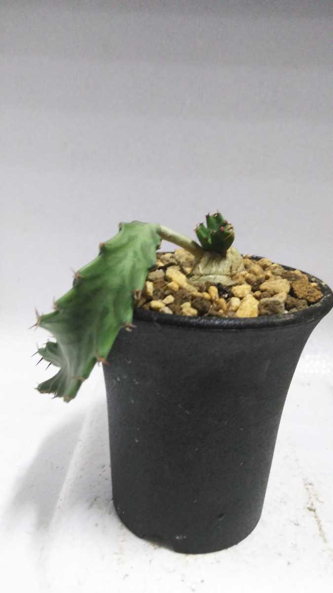 ユーフォルビア Euphorbia stellata(飛竜)南アフリカ原産 実生 輸入株 送料無料! サボテン レア多肉植物 塊根植物 コーデックス_画像6
