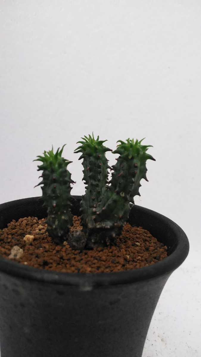 ユーフォルビア ポリゴナ綴化Euphorbiapolygona 送料無料! サボテン 多肉植物_画像1