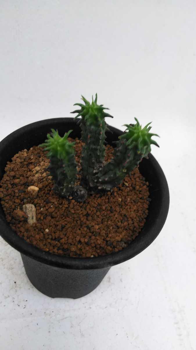 ユーフォルビア ポリゴナ綴化Euphorbiapolygona 送料無料! サボテン 多肉植物_画像4
