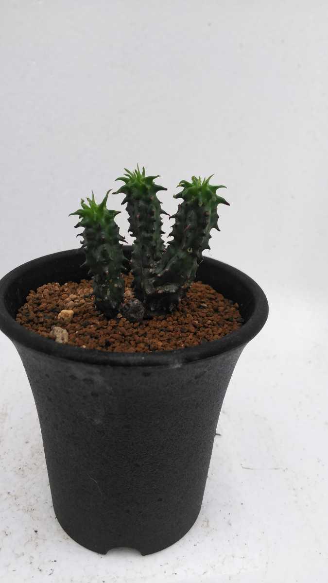 ユーフォルビア ポリゴナ綴化Euphorbiapolygona 送料無料! サボテン 多肉植物_画像6