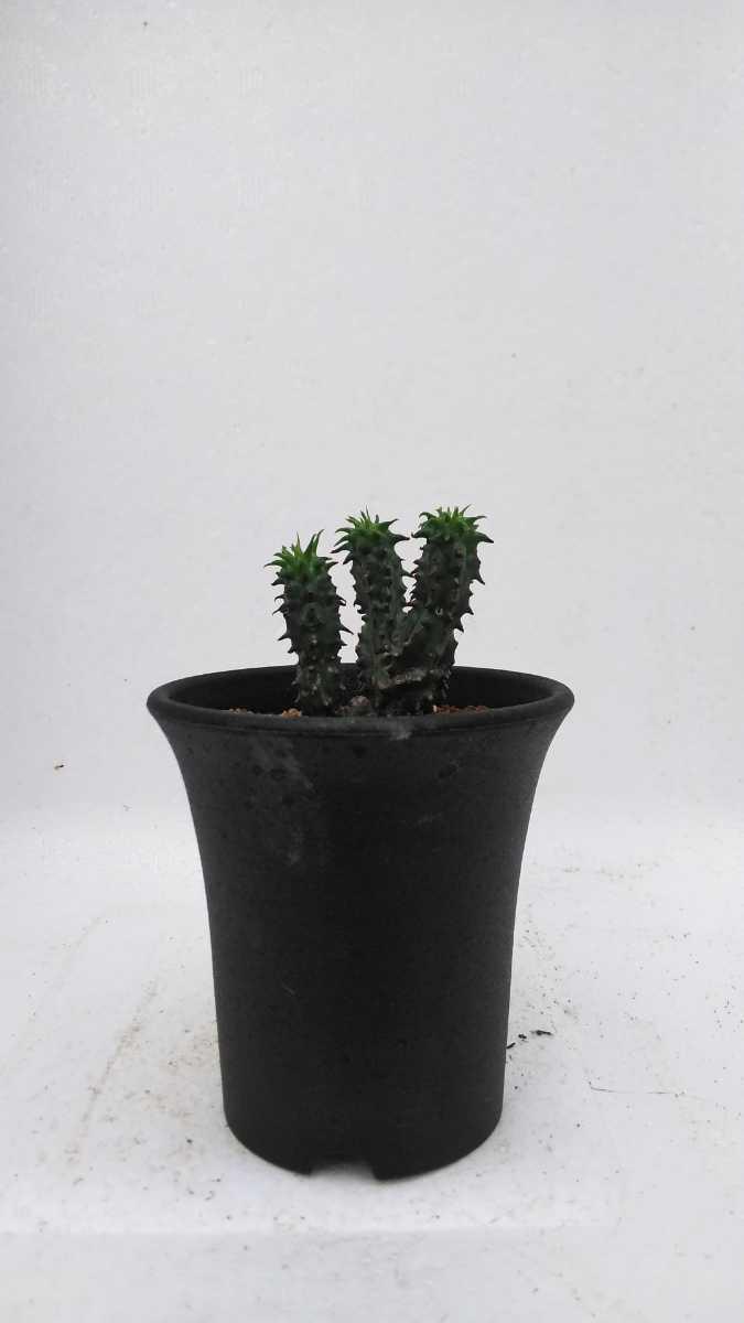 ユーフォルビア ポリゴナ綴化Euphorbiapolygona 送料無料! サボテン 多肉植物_画像5