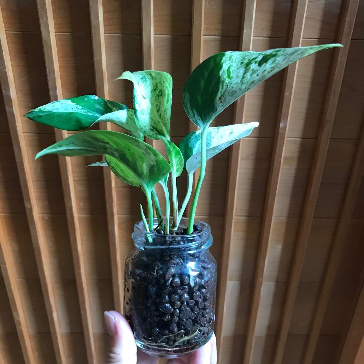 観葉植物+ハイドロカルチャーボール ポトス ミックスカラー リアルグリーン