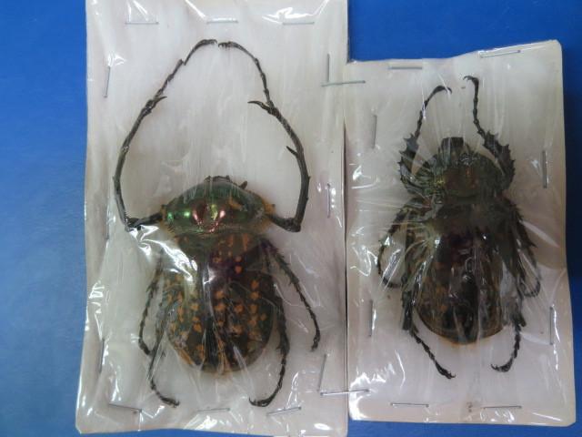 大特価! 学術昆虫標本 タイワンテナガコガネ 台湾産 ♂55mm+♀_画像1