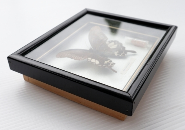 ◆ アメリカ雑貨 アゲハチョウ 昆虫標本 壁掛けオブジェ ウォールデコ/ビンテージ アンティーク レトロ インテリア アート 蝶々 額装_画像2