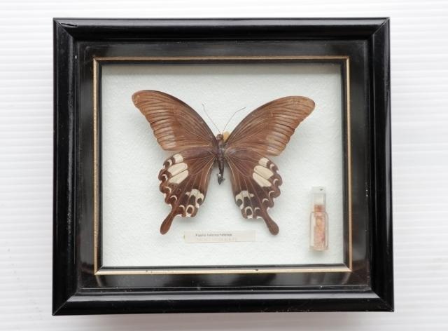 ◆ アメリカ雑貨 アゲハチョウ 昆虫標本 壁掛けオブジェ ウォールデコ/ビンテージ アンティーク レトロ インテリア アート 蝶々 額装_画像1