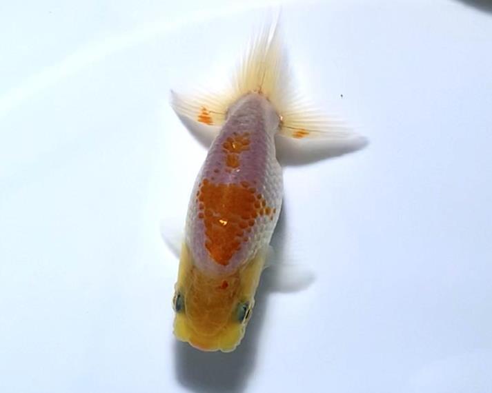 ◆◇バンビーーノ◇◆【愛媛・佐藤英朗氏】上物 当歳魚 2匹 おすすめ_画像2