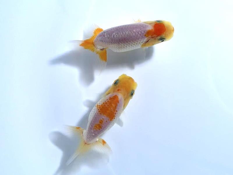 ◆◇バンビーーノ◇◆【愛媛・佐藤英朗氏】上物 当歳魚 2匹 おすすめ_画像1