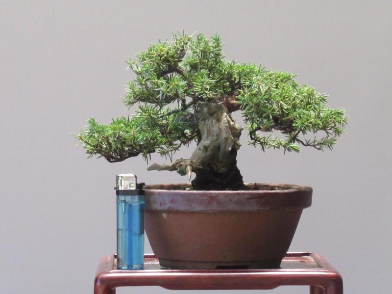 「小品盆栽」杜松/13cm・天然ジン・シャリ幹(777)