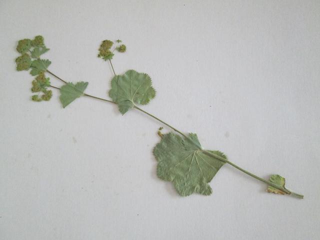 C*Cアルケミラモリス15本 押し花 ボタニカルアート 植物標本 ハーバリウム レジン キャンドル 石鹸 アロマワックスバー 封入用_画像2
