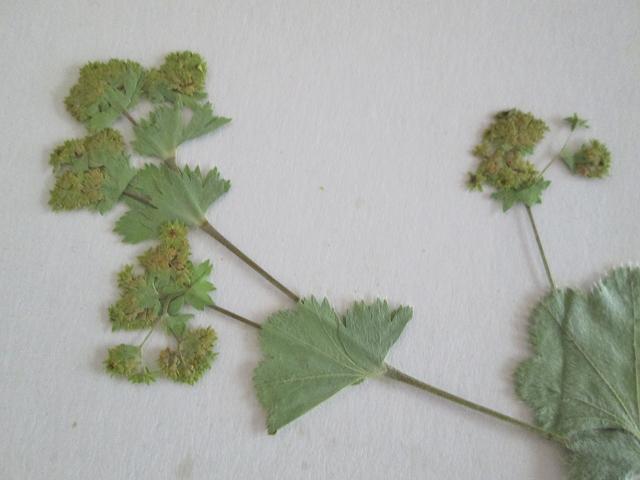 C*Cアルケミラモリス15本 押し花 ボタニカルアート 植物標本 ハーバリウム レジン キャンドル 石鹸 アロマワックスバー 封入用_画像3