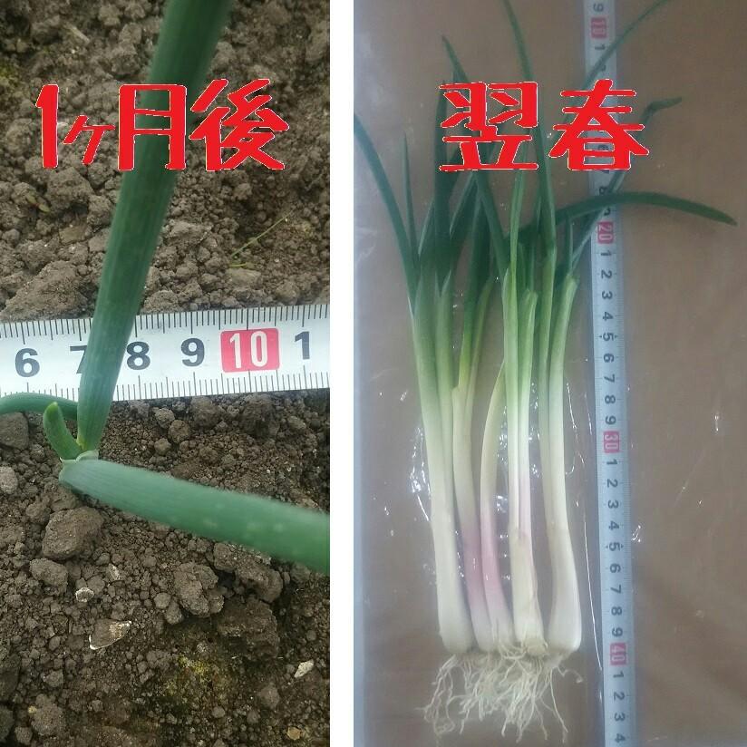 北海道産 アサツキ 球根 100球  あさつき 浅葱 アサヅキ 苗 山菜 野菜