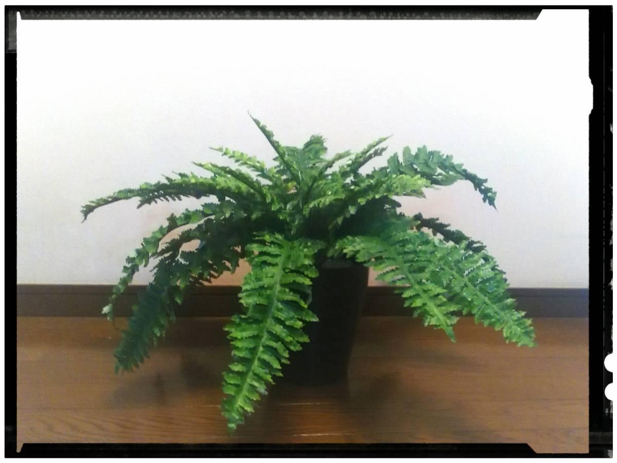 花器付観葉植物 インテリアグリーンB81