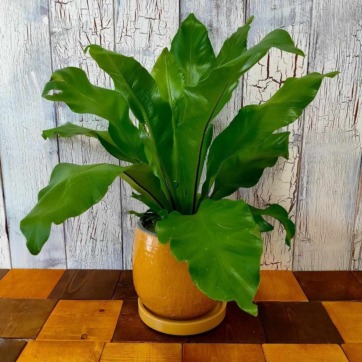 【観葉植物】  アスプレニウム