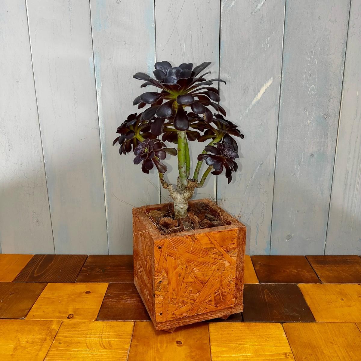 【観葉植物】クロホウシ(黒法師)
