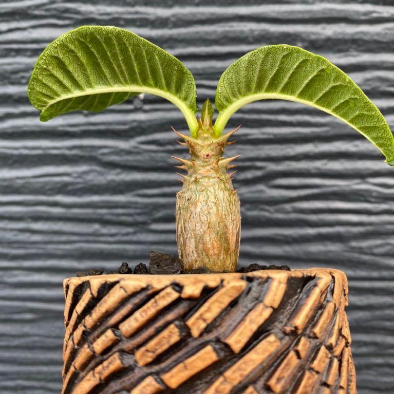 多肉植物 塊根植物 特選 パキポディウム ウィンゾリー pachypodium baloni var.windsorii TOKY Scratch Bold Stripe Pot_画像2