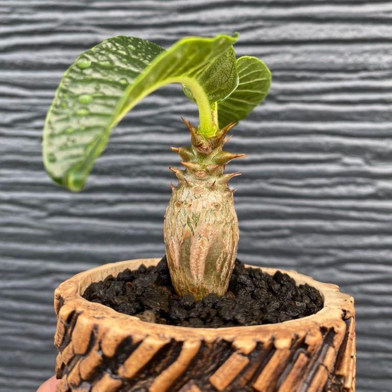 多肉植物 塊根植物 特選 パキポディウム ウィンゾリー pachypodium baloni var.windsorii TOKY Scratch Bold Stripe Pot_画像6