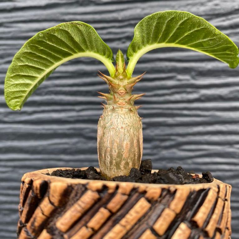 多肉植物 塊根植物 特選 パキポディウム ウィンゾリー pachypodium baloni var.windsorii TOKY Scratch Bold Stripe Pot_画像1