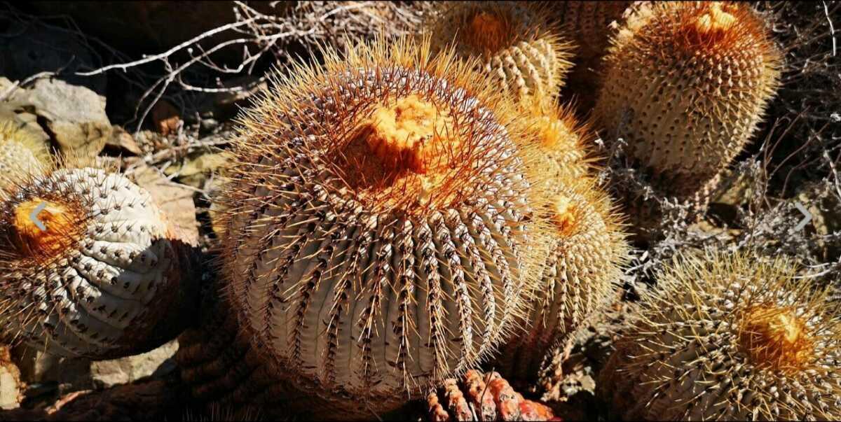 コピアポア シネレア ギガンティア種子10粒