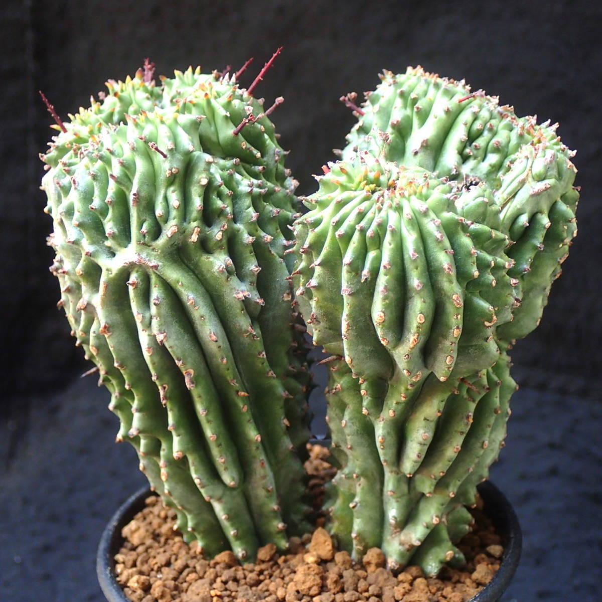 めったにない極太3頭モンスト綴化 ホリダ ユーフォルビア euphorbia horrida/ 多肉植物 塊根植物 サボテン コーデックス_どこから見ても楽しめる.
