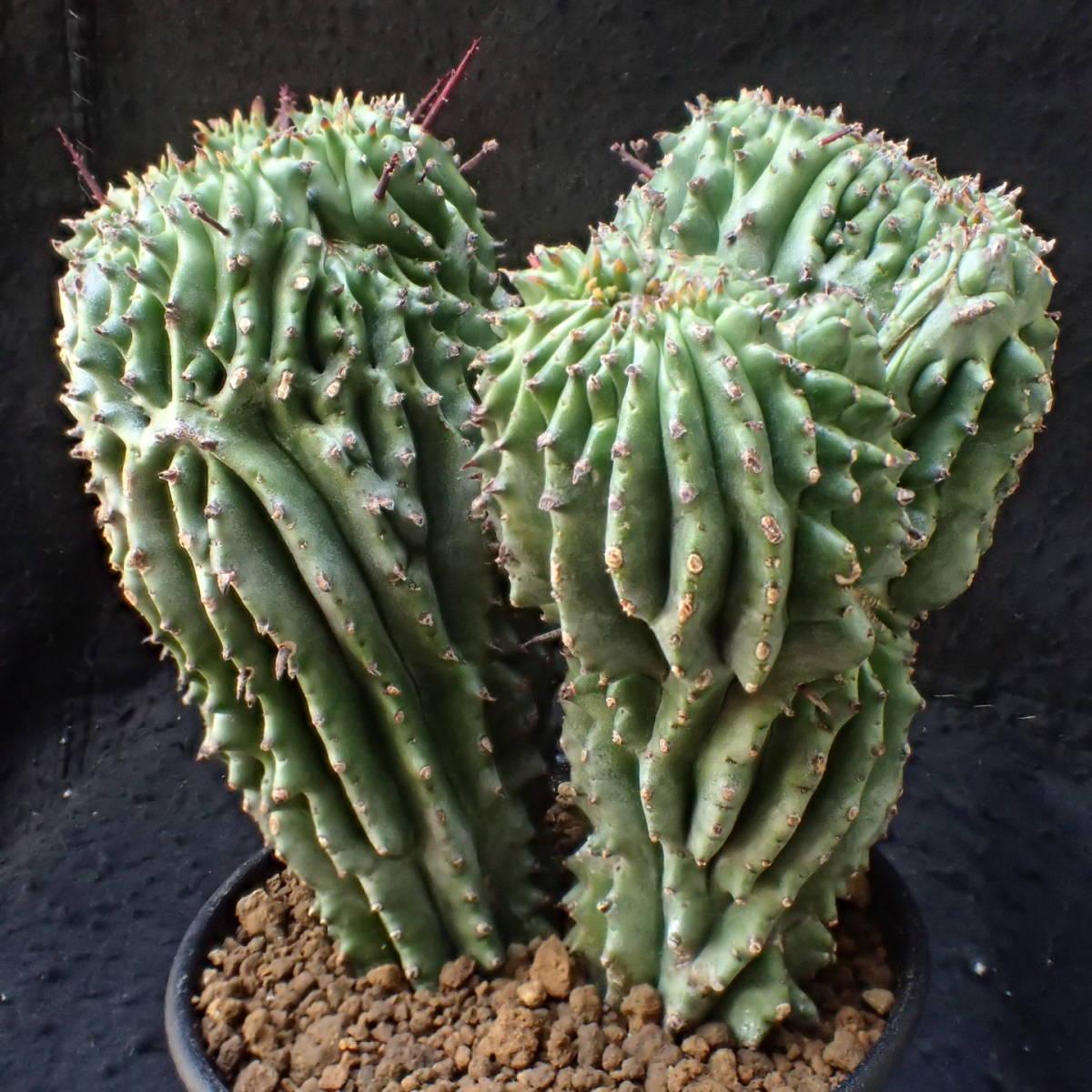 めったにない極太3頭モンスト綴化 ホリダ ユーフォルビア euphorbia horrida/ 多肉植物 塊根植物 サボテン コーデックス_大変立派な モンスト 綴化 ホリダ