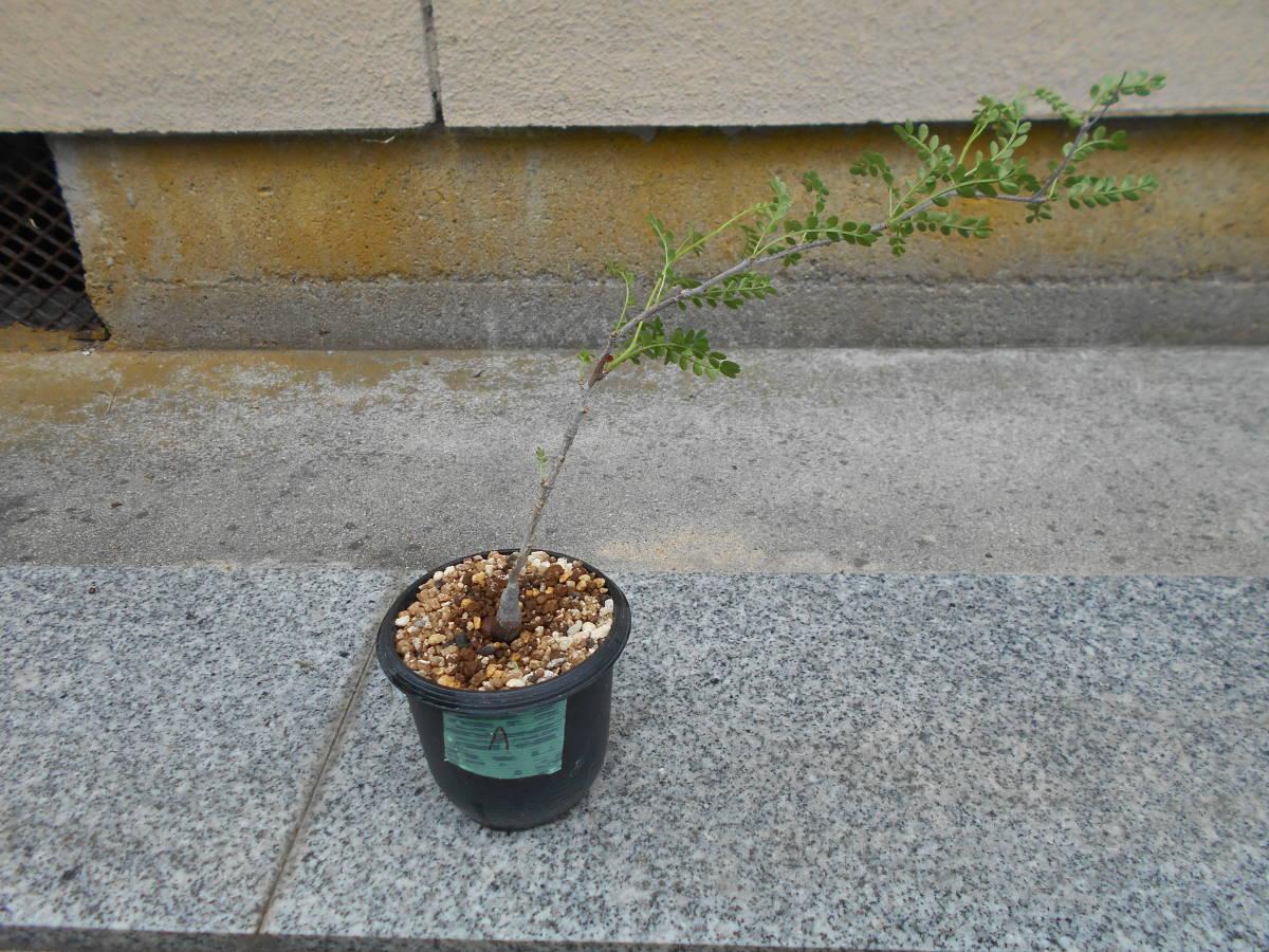 オペルクリカリア パキプス 国内実生株 コーデックス 塊根植物 3.5号鉢 Operculicarya pachypus 塊根 多肉植物 A _画像1