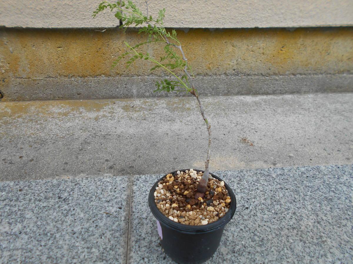 オペルクリカリア パキプス 国内実生株 コーデックス 塊根植物 3.5号鉢 Operculicarya pachypus 塊根 多肉植物 A _画像3