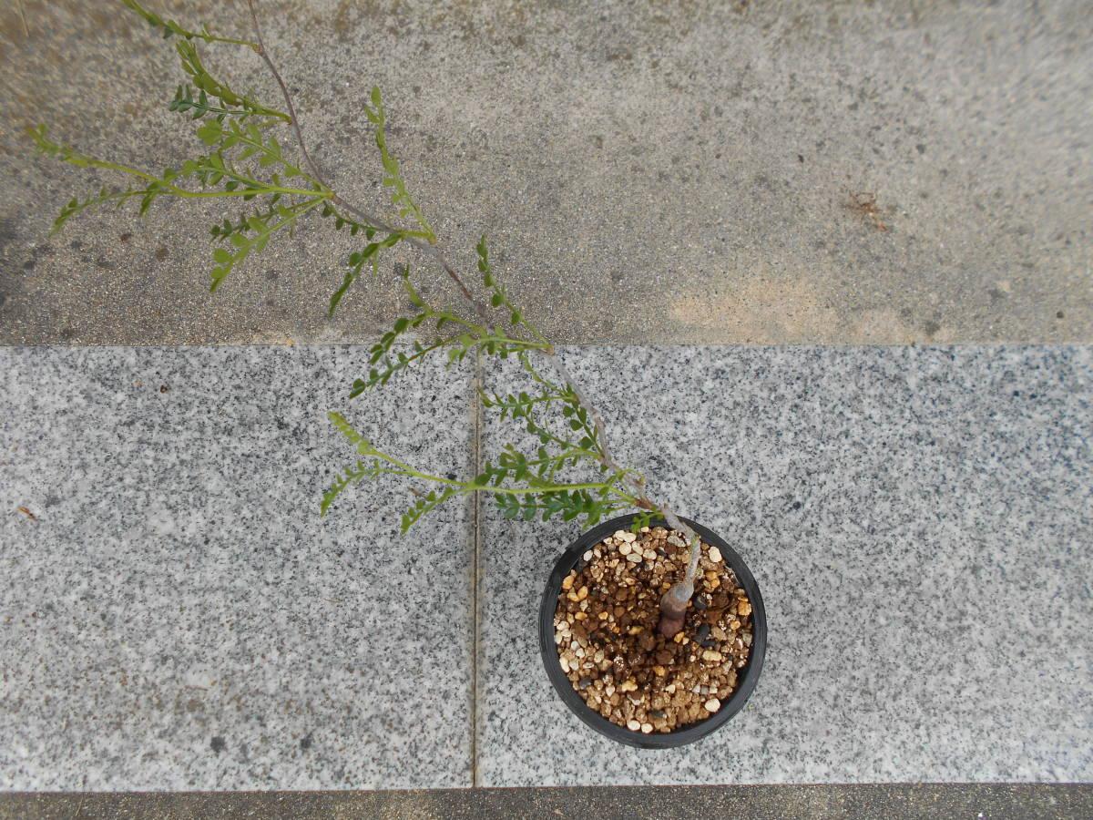オペルクリカリア パキプス 国内実生株 コーデックス 塊根植物 3.5号鉢 Operculicarya pachypus 塊根 多肉植物 A _画像5