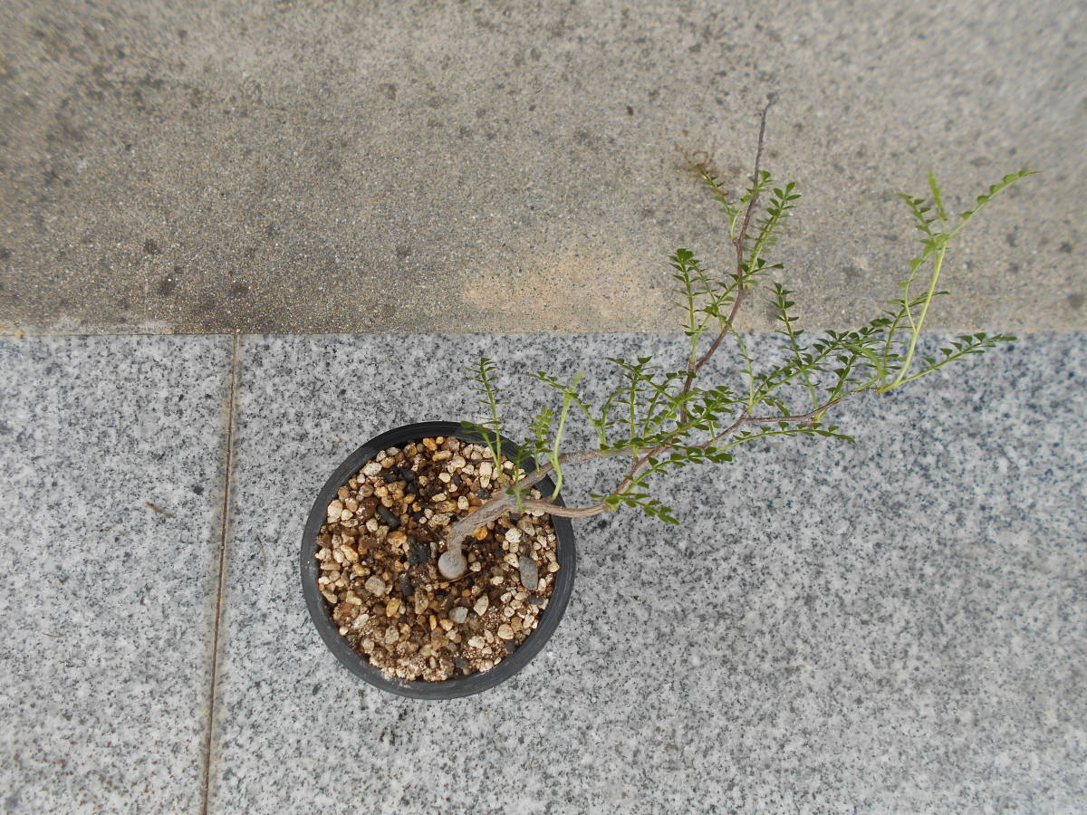 オペルクリカリア パキプス 国内実生株 コーデックス 塊根植物 3.5号鉢 Operculicarya pachypus 塊根 多肉植物 B