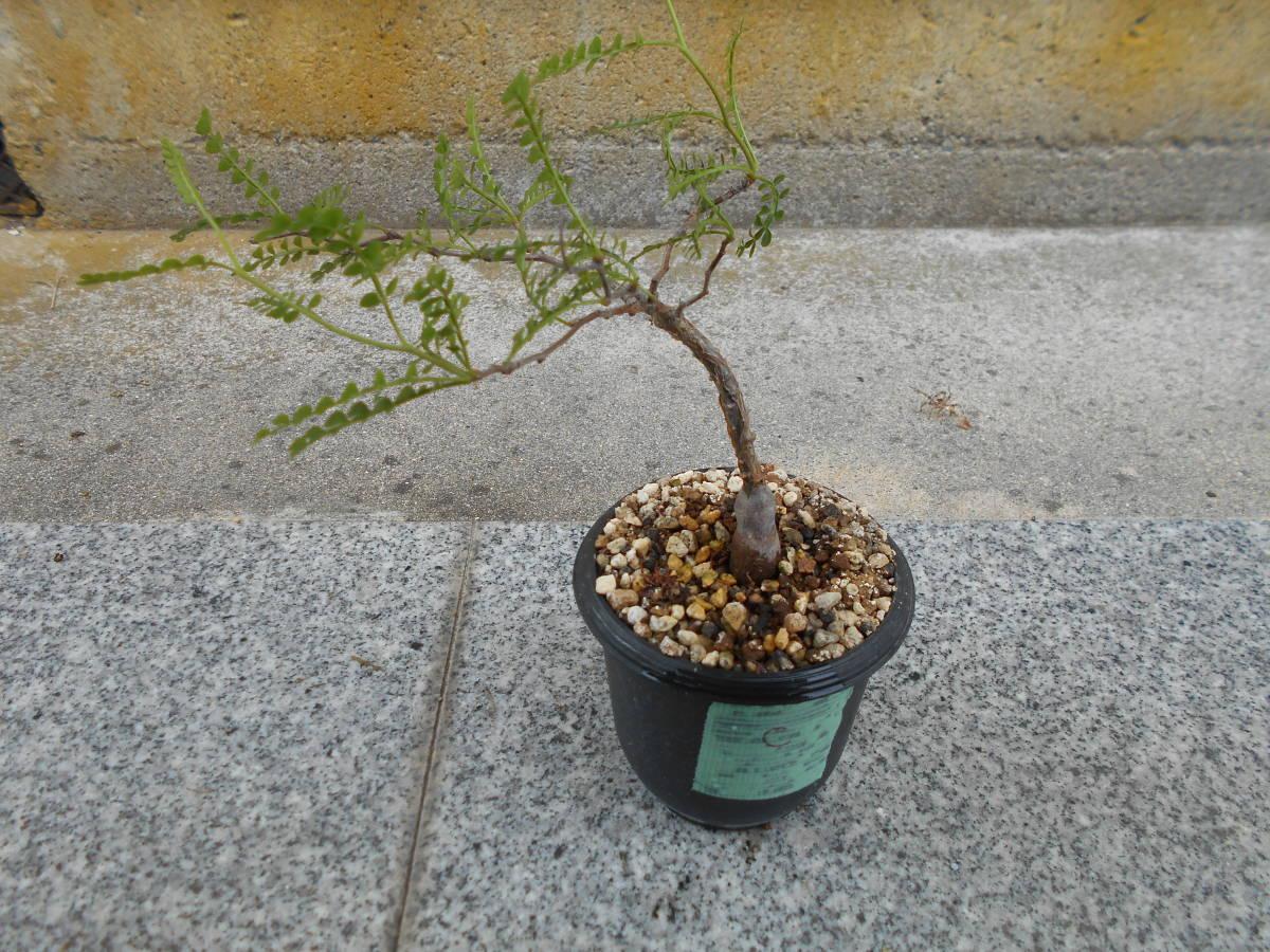 オペルクリカリア パキプス 国内実生株 コーデックス 塊根植物 3.5号鉢 Operculicarya pachypus 塊根 多肉植物 C _画像1