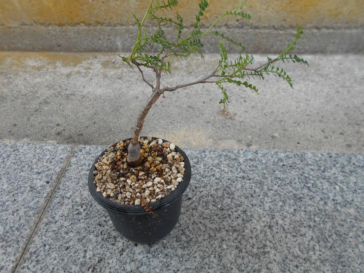 オペルクリカリア パキプス 国内実生株 コーデックス 塊根植物 3.5号鉢 Operculicarya pachypus 塊根 多肉植物 C _画像3