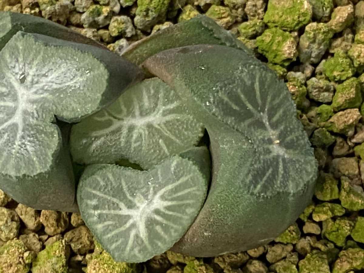 多肉植物 ハオルシア 万象札落ちカキコ