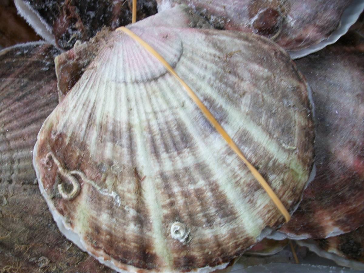 【訳あり品】野付産・殻付き生冷凍ほたて5kg(17~19枚程度)_画像3