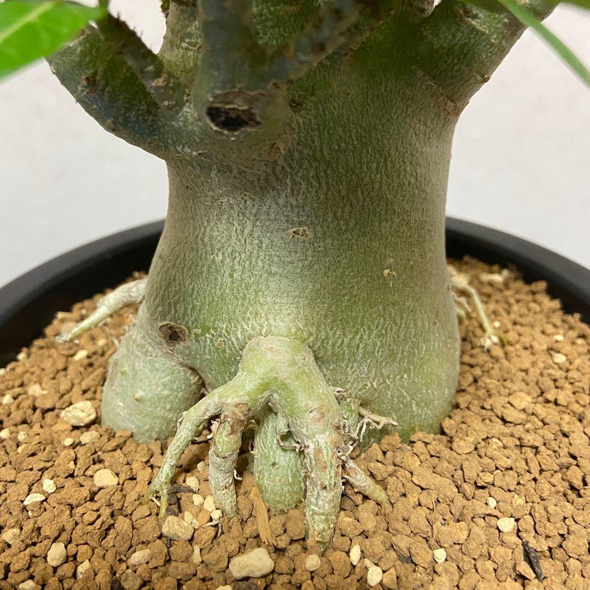 パキポディウム コーデックス アデニウム アラビカム 2 植物 観葉植物