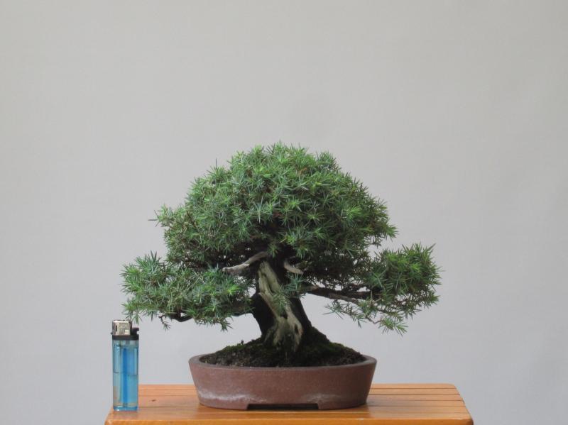 「小品盆栽」杜松/19cm[鉢・誠山](540)