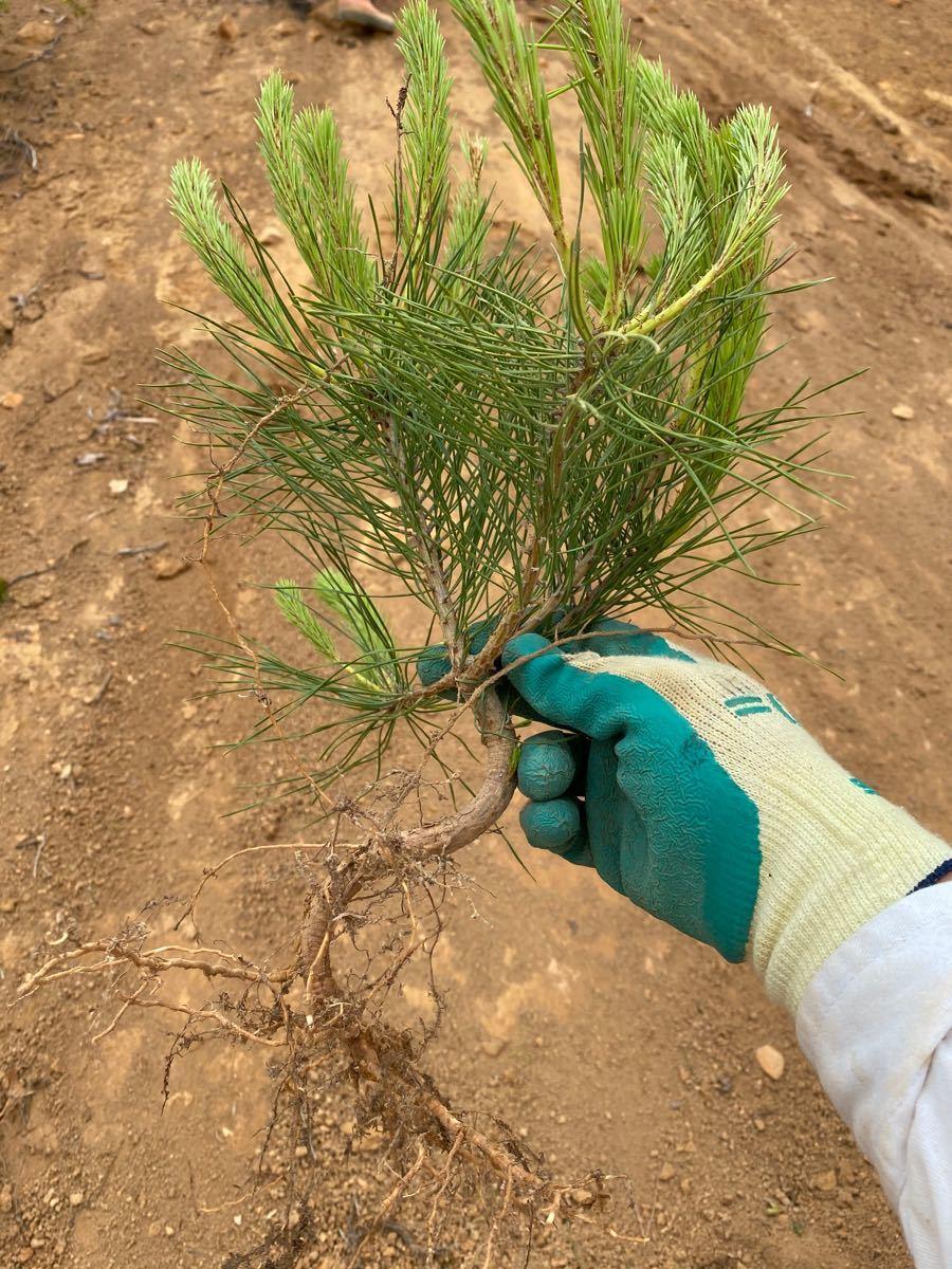 松の木抜き苗10本セット