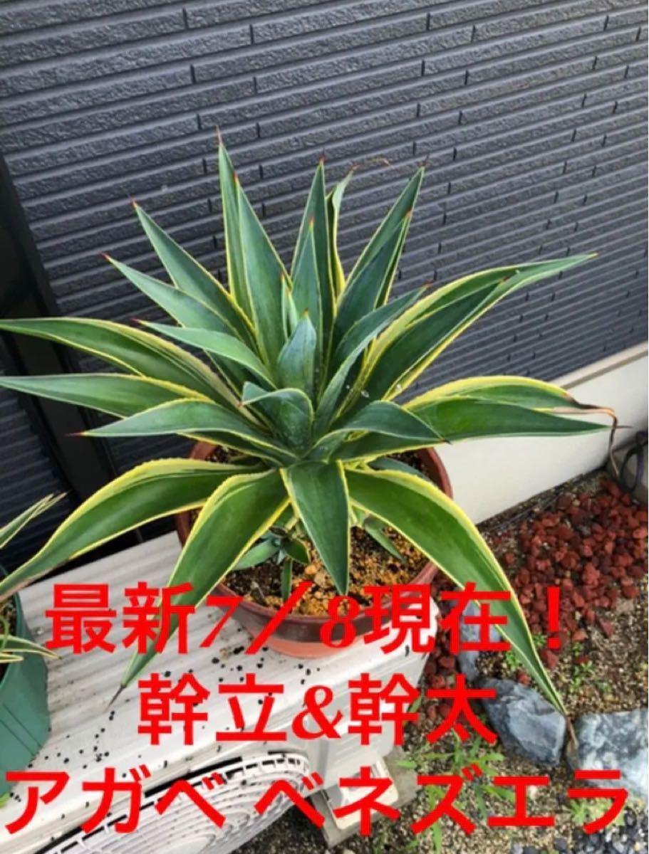 【大株 幹立ち アガベ ベネズエラ 樹形◎ 一株のみ!】