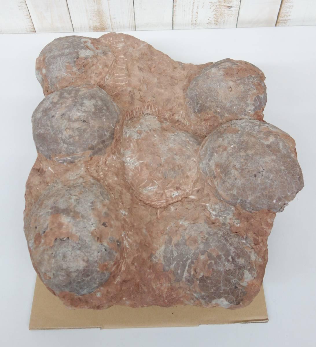 古代 歴史 貴重*資料館 博物館級*恐竜の卵の化石 希少七個 母岩付*総重量で約38.8kg*サイズ50cm x 40cm 高さ20cm *鉱物 標本