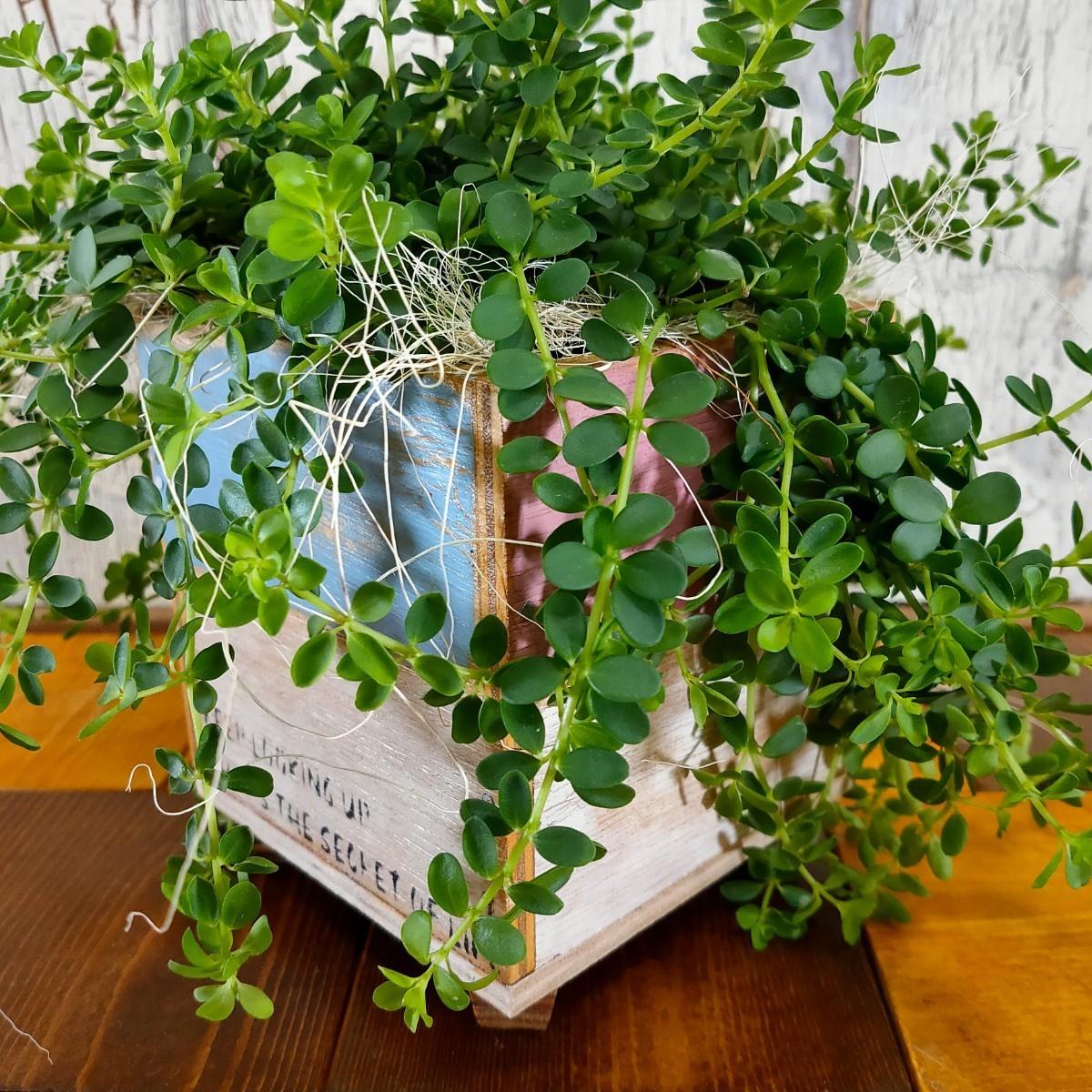 【観葉植物】ペペロミア イザベラ