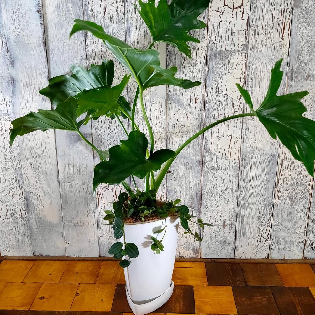 【観葉植物】クッカバラ 受皿付