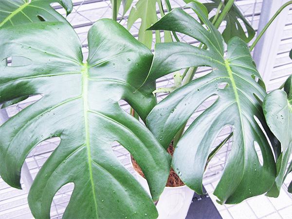 モンステラ 約100cm 7号 観葉植物 ハワイアン 新築祝い 開店祝い 鉢植え おしゃれ カリフォルニア 西海岸風 インテリア アメリカン雑貨_画像4