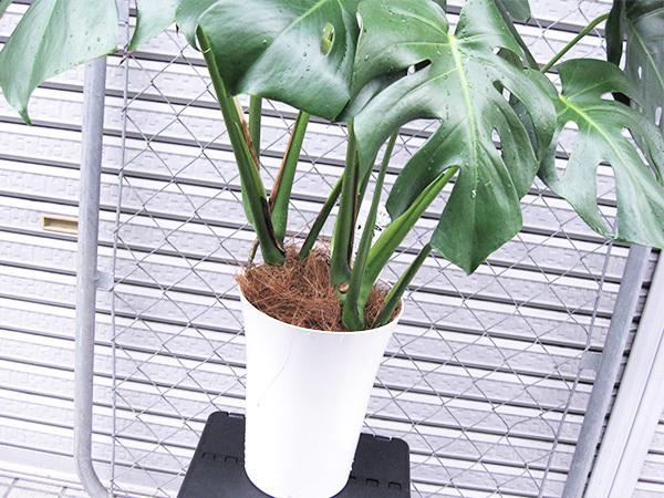 モンステラ 約100cm 7号 観葉植物 ハワイアン 新築祝い 開店祝い 鉢植え おしゃれ カリフォルニア 西海岸風 インテリア アメリカン雑貨_画像5