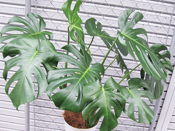 モンステラ 約100cm 7号 観葉植物 ハワイアン 新築祝い 開店祝い 鉢植え おしゃれ カリフォルニア 西海岸風 インテリア アメリカン雑貨_画像3