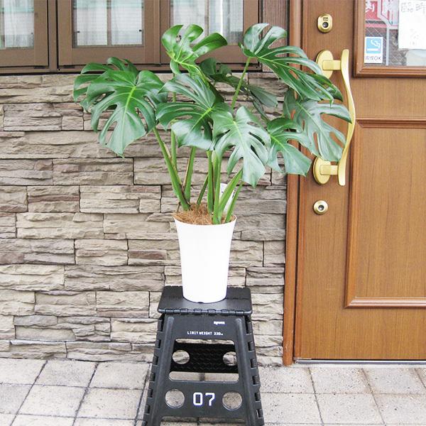 モンステラ 約100cm 7号 観葉植物 ハワイアン 新築祝い 開店祝い 鉢植え おしゃれ カリフォルニア 西海岸風 インテリア アメリカン雑貨_画像6